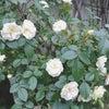 園芸日誌*花便り☆薔薇やジャスミンなど♪の画像