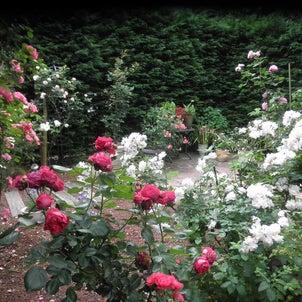 sara のお庭 薔薇が満開!の画像