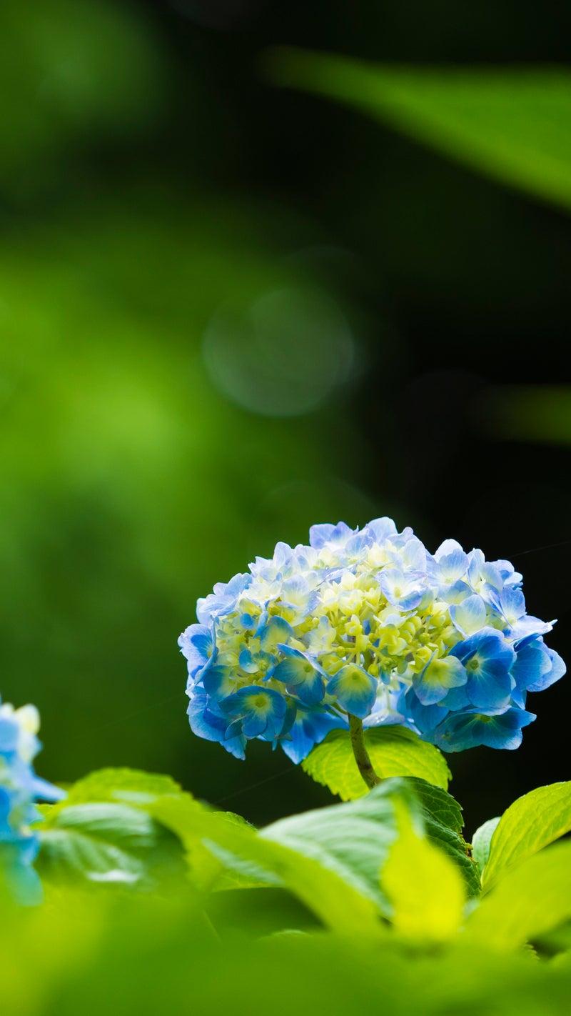 紫陽花とカタツムリ スマホ壁紙 なんでもない写真館