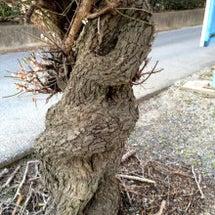 くねくねの木再び