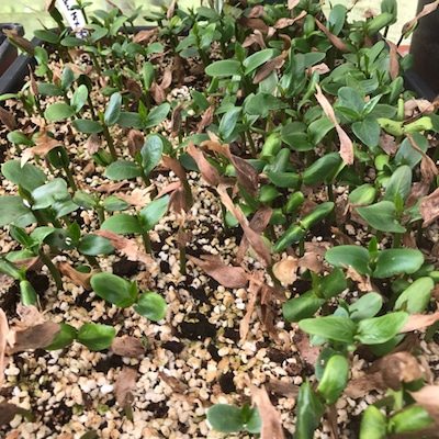 プルメリアの種まきの仕方についての記事に添付されている画像