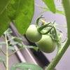 トマト成長記録【ついに実が】の画像