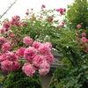 庭の薔薇もそろそろ終わりですの画像
