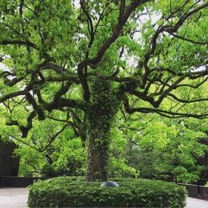 樹齢何年?熊本城。の画像