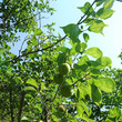 自然栽培の梅、収穫
