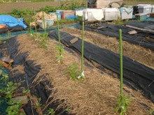 170602ピーマン京みどり0502定植初収穫01