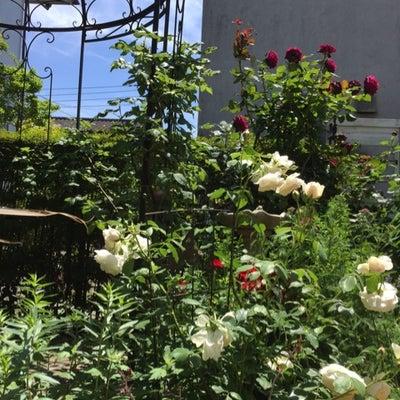 春最後のバラ 『グレーフィン ディアナ』の記事に添付されている画像