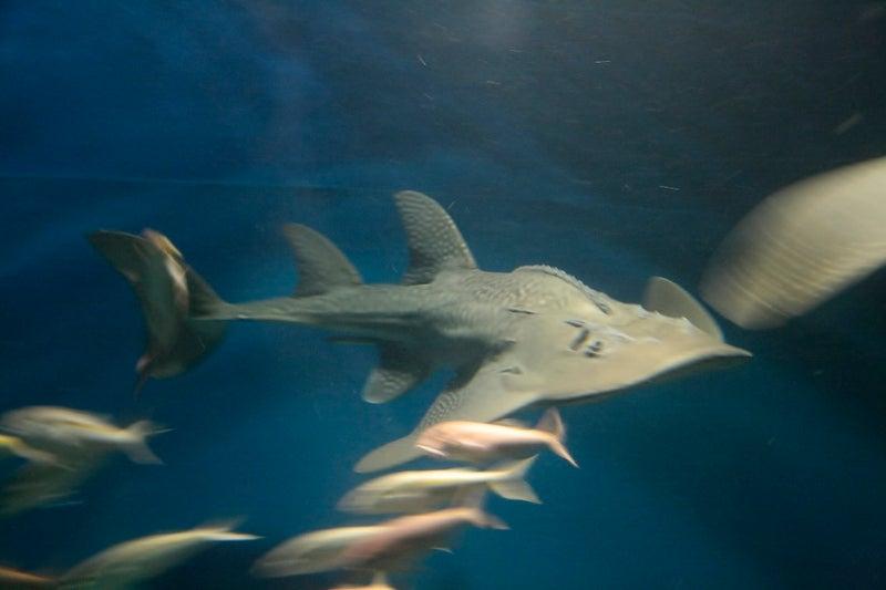アクアパーク品川◇泳ぎ回るシノノメサカタザメ | SCENERYブログ