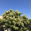 大きな栗の木の下で!の画像