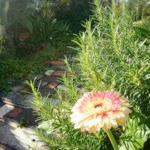 夏の花   ☆ガーベ…