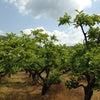 柿 摘蕾の画像