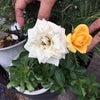 2種類のバラ!の画像