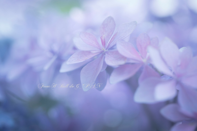 フレンチブルドッグ・パン花写真 PAN花写真 フレブルパン紫陽花