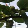 愛甘水 摘果の画像