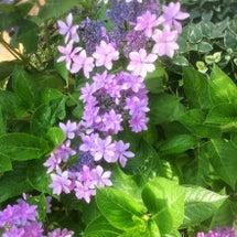 紫陽花に癒されて………