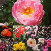 今年も薔薇を楽しみま…