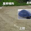 【ウミガメ産卵!】