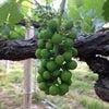 葡萄 摘粒の画像
