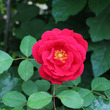 Mom's Rose…