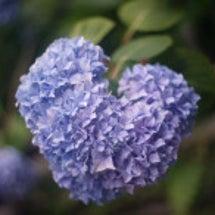 ハート型の紫陽花 ピ…