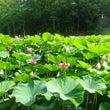古代ハス池の様子_6…