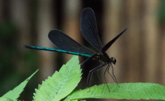 黒い 羽 の トンボ