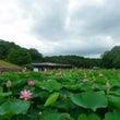 古代ハス池の様子とハ…