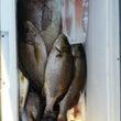 今朝の夜釣りの釣果で…