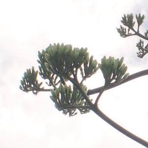 竜舌蘭開花の画像