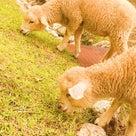 六甲山牧場~羊たちの記事より