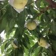 桃の収穫まであと10…