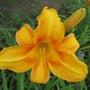 ヘメロカリスの花を作…
