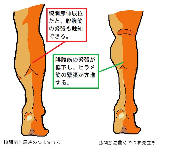 膝関節と下腿三頭筋 | きゅうの独り言