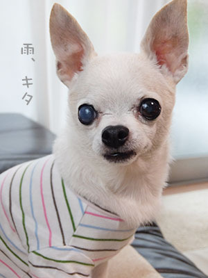 20170713チワワの小太郎