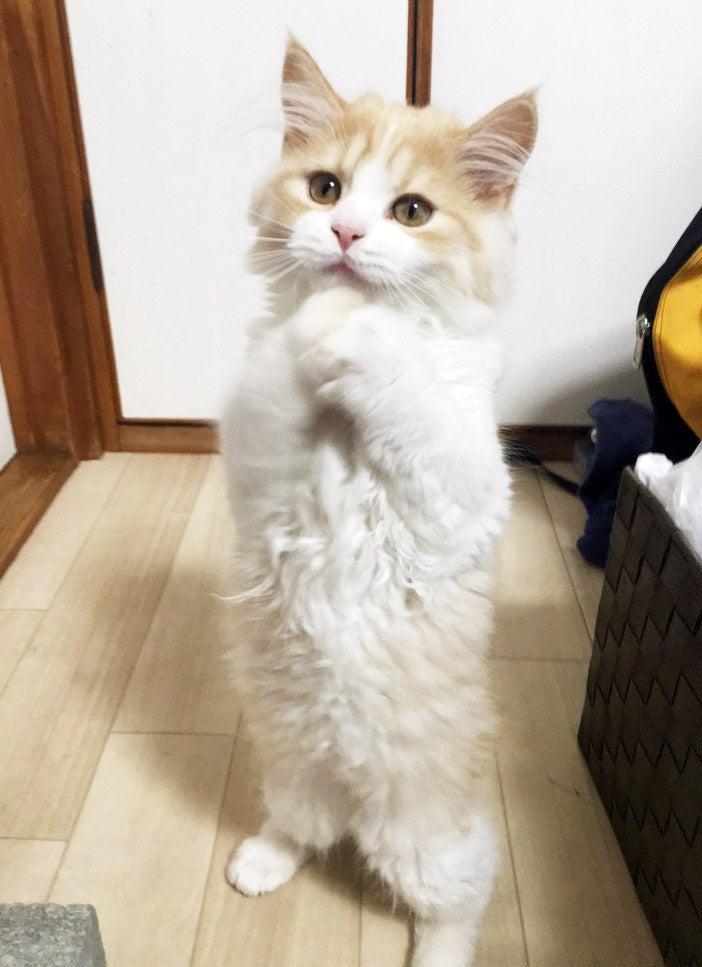 スコティッシュフォールド オス レイ お願いポーズ子猫販売