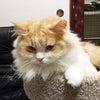 親猫紹介【レイ】 スコティッシュフォールド オス ロング 立ち耳 猫の赤ちゃん子猫里親募集中の画像