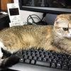 親猫紹介【あい】 スコティッシュフォールド メス 折れ耳 ショート 猫の赤ちゃん子猫里親募集中の画像