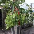 ミニトマト専用のブリ…