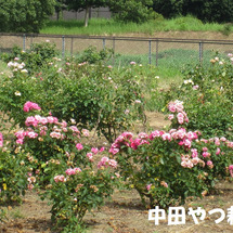 Today Rose…