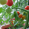 ベランダ菜園の画像