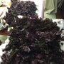 紫蘇ジュース作り