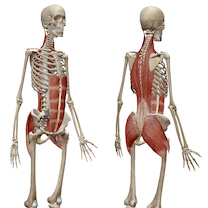 体幹という言葉の多義性から生じる、音楽家が体幹トレーニングをすることの弊害の記事に添付されている画像