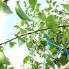 梨の夏季誘引の画像