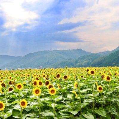 ひまわり畑♡の記事に添付されている画像