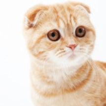 折れ耳で人気の猫「ス…