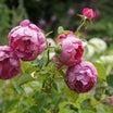 4月のバラ作業・花が咲くまでにやっておきたい事(*^^*)
