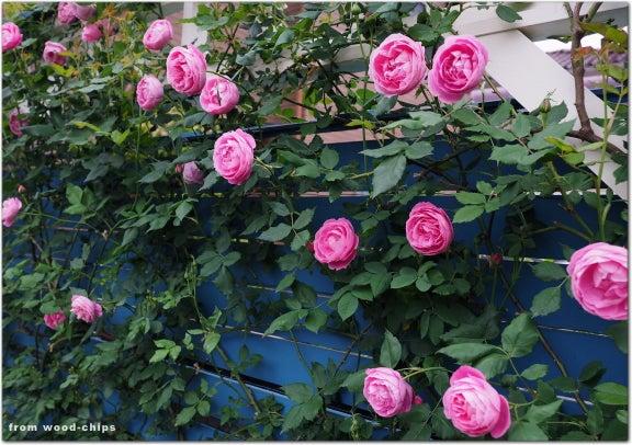 ラレーヌビクトリア バラ