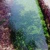 醒井の梅花藻。の画像