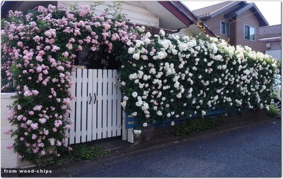 バラの庭 白いフェンス