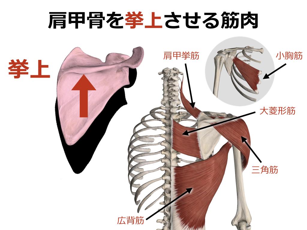 【ストレッチ】肩甲骨を挙上させる筋肉のストレッチまとめ ...